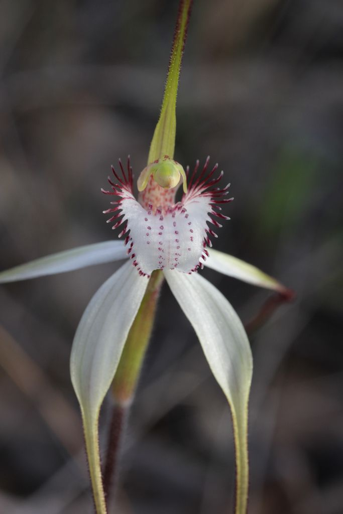 White Spider Orchid: Caladenia sp. - Flickr - Photo Sharing!