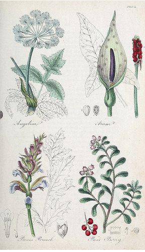 Angelica (Angelica archangelica), Arum (Arum maculatum), Bear's Breech [as Bear's Breach] (Acanthus mollis), and Bear Berry, kinnikinnick, pinemat manzanita (Arctostaphylos uva-ursi ). The British flora medica… (1838)