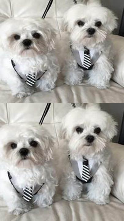 puppies for sale, Teacup Maltese puppies, Maltese puppies,  Maltese puppies for sale,  Maltese puppies for adoption,  bulldog puppies,  Bulldog Puppies for sale,  Maltese for sale,  Maltese for adoption,  Malteses,  Maltese puppy,  Bulldog puppy, Maltese puppies for free adoption,