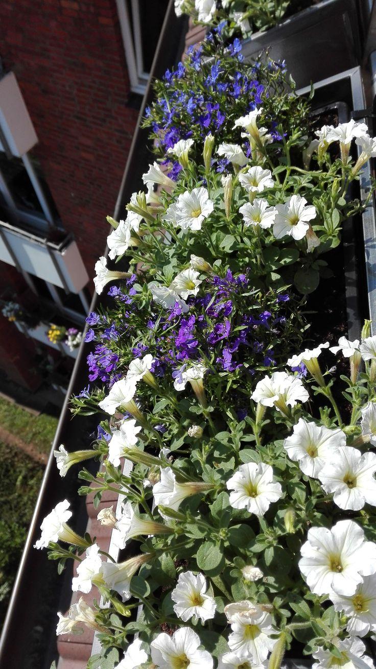 Balkonkasten- bepflanzen- blau-weiß- Petunien und Männertreu