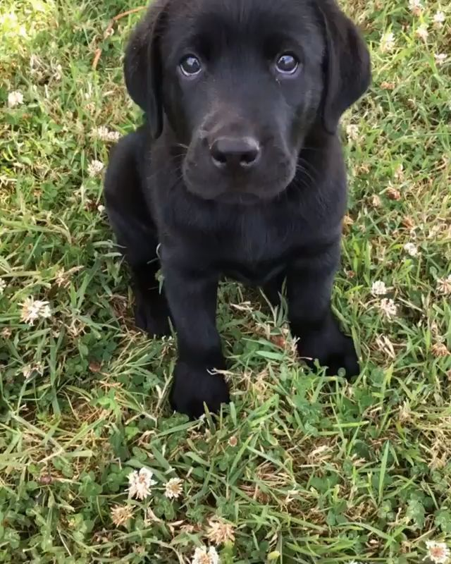 hunde welpen labrador schwarz