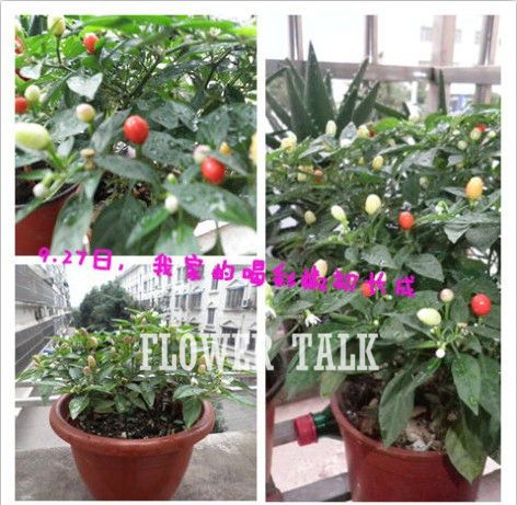200 Seeds Of  Cheers Pepper Ornamental red hot chili peppers Bonsai chinese vegetable seeds for casa e jardim FTP012