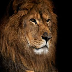 for cecil the lion rest in peace you magnificent creature