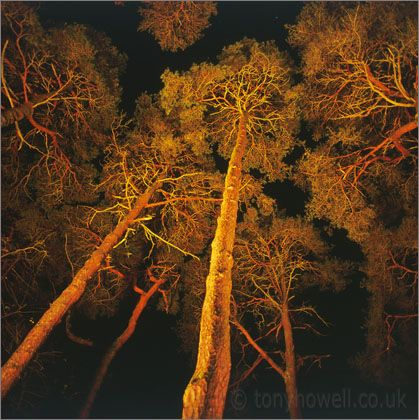 Scots pine by Tony Howell