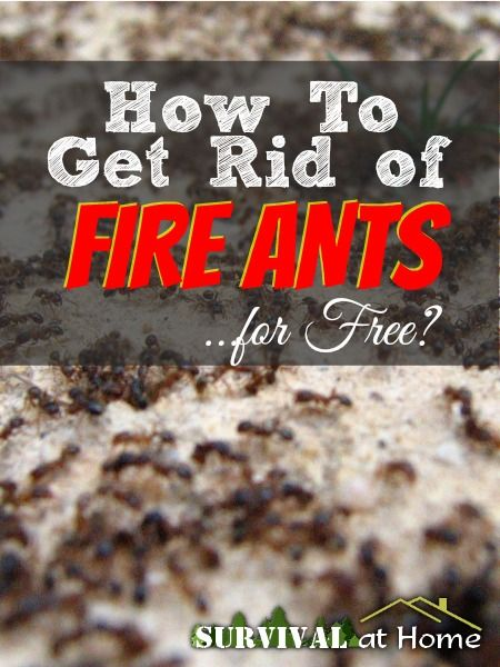 How to Get Rid of Fire Ants ...for Free?   Survival at Home   #prepbloggers #insects
