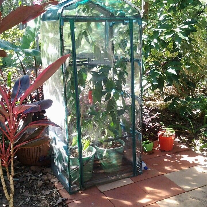 I started growing capsicums in a little greenhouse,  it turned out to be a great success.