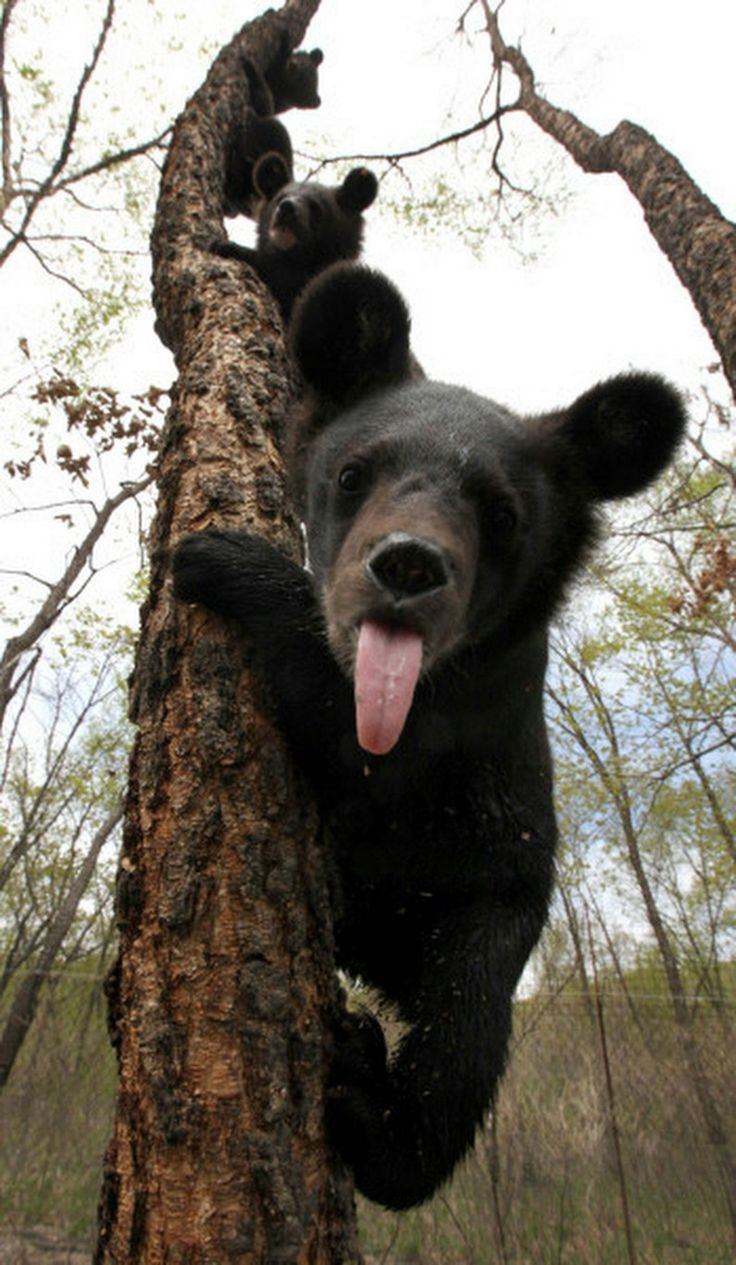 Little black bear - Cachorro de oso negro.