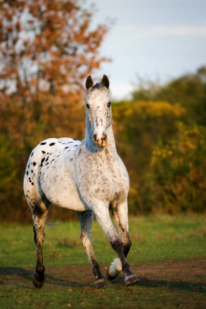 Breed: Appaloosa. Stunning horse photography.