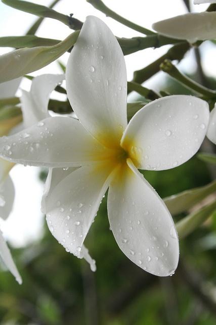 Les fleurs de jasmin est connu pour symbole de l'amour et la tentation féminine. En France, les noces de jasmin sont le symbole des 66 ans de mariage.
