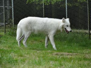 White Wolf Sanctuary- adopt this wolf here