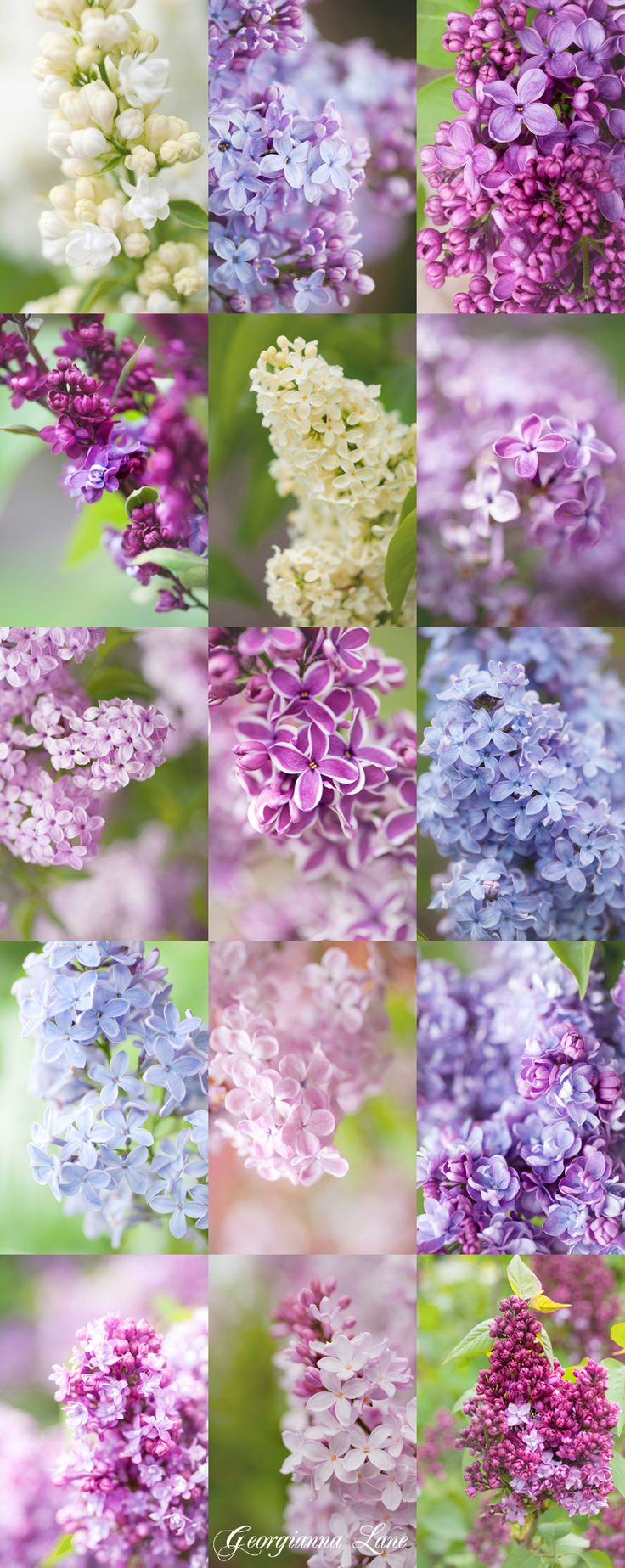 ~~Syringa: New Lilac Collection! | Left to right: Syringa vulgaris 'Mme Lemoine', 'Firmament',  'Glory', 'Adelaide Dunbar',  'Primrose', Syringa x hyacinthiflora 'Pocohontas', Syringa x chinensis 'Lilac Sunday', 'Sensation', 'Mme Charles Souchet',  'President Lincoln', Syringa x hyacinthiflora 'Maiden's Blush', 'Alice Christianson', Syringa 'Fritz Klager', Syringa 'Pink Ruth', 'Peacock' | Garden Photo World~~