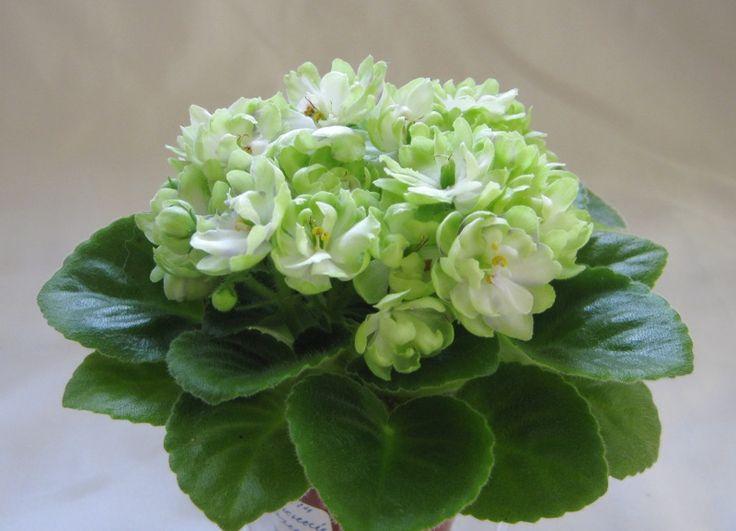 Н-Снежный Георгин. Букет махровых белых цветов с зеленой, переходящей на внешний край лепестков, изнанкой. Расположенные отдельно лепестки придают цветку сходство с георгином. Обильное длительное цветение. Средне-зеленая зубчатая листва.  Мини.