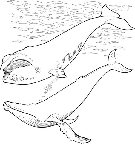 right whale and humpback whale in the ocean coloring page from right whales category select