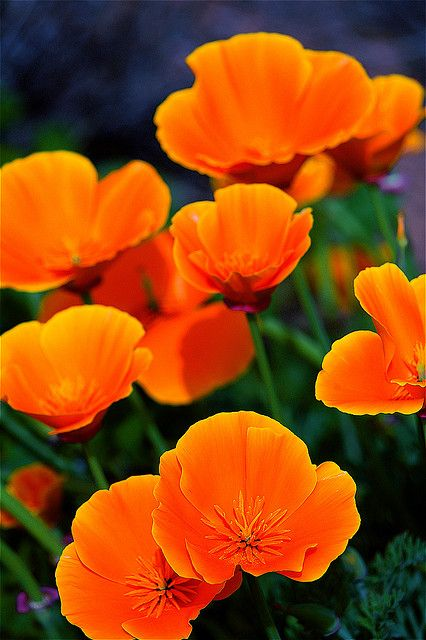 Fire bright poppies in San Diego, California • photo: Michael J. Slezak on Flickr