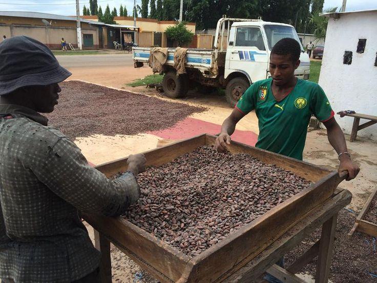 Sifting cocao - Yammasoukro, Ivory Coast