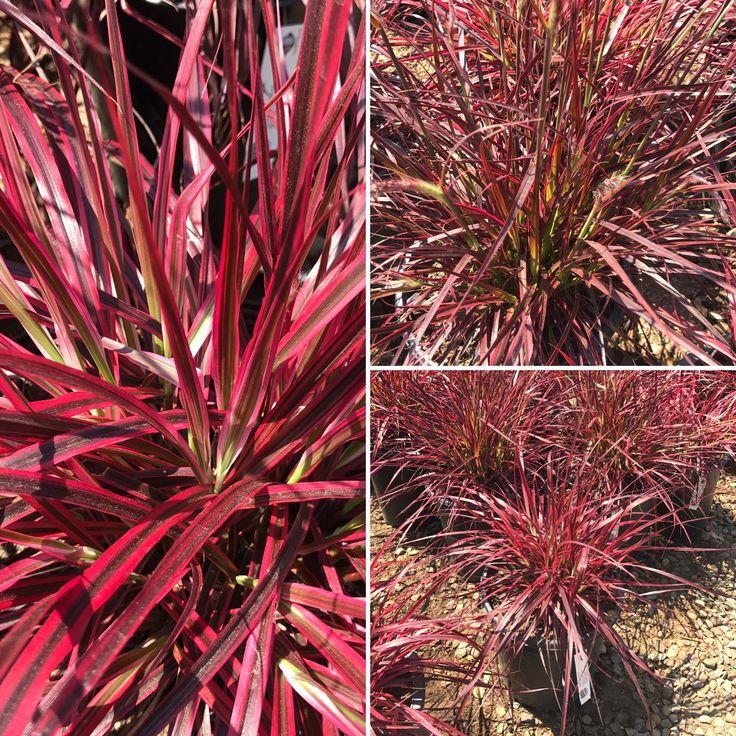 Best 20 pennisetum setaceum ideas on pinterest red for Easy ornamental grasses