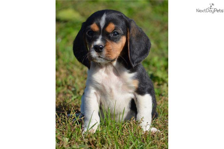 Rosco: Beaglier puppy for sale near Sioux Falls / SE SD, South Dakota | d0bc9cbf-dc91