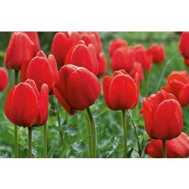 Apeldoorn Tulips from Lowe's