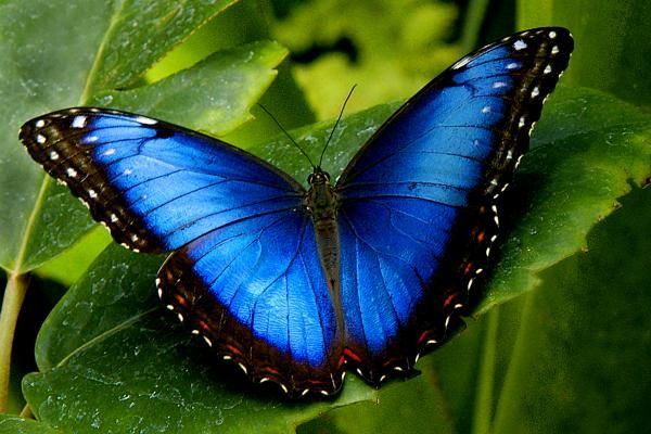 There are over 80 species of butterflies in the genus Morpho. They are tropical butterflies found mostly in South America as well as Mexico and Central America.