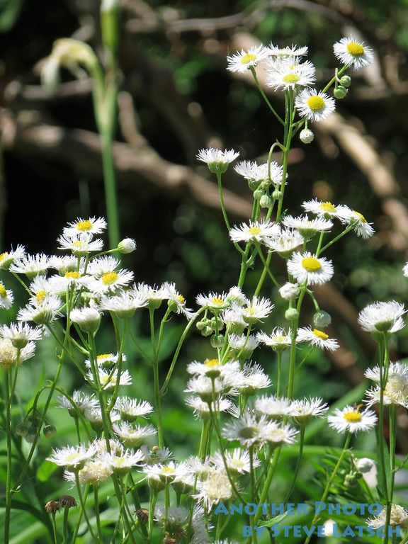 The Many White Flowers Of Fleabane Daisies While Often Considered To Be A Nuisance Or