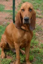 Big Red- NEEDS HELP! is an adoptable Bloodhound Dog in Danielsville, GA. Meet Big Red. He is a gorgeous bloodhound who is approximately 5 years old. Big Red was brought to the Madison-Oglethorpe Anima...