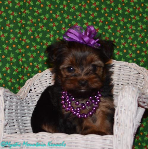 shih tzu yorkie puppies for sale puppies for sale teacup tiny yorkies imperial shih tzu 1060
