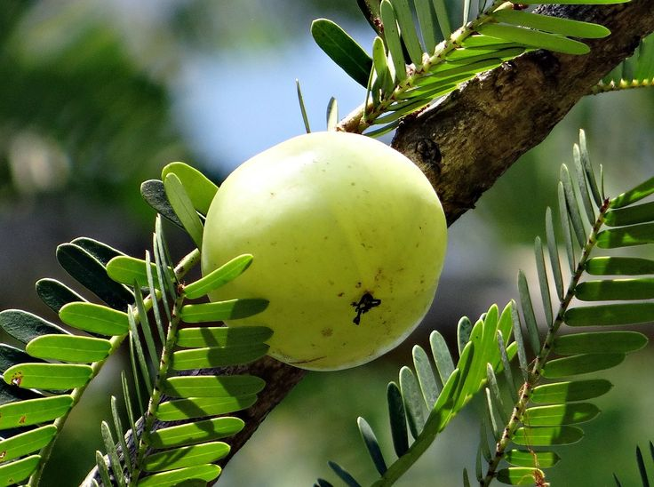 A Detailed article about amla (Indian Gooseberry) covering health benefits and beauty benefits of amla, nutrition of amla and risks and side effects of amla