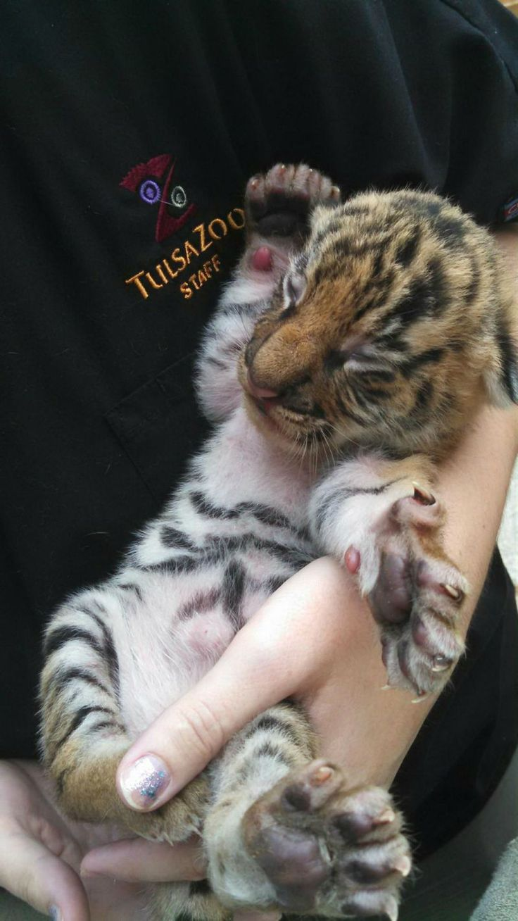 One of three Malayan Tiger cubs born at Tulsa Zoo ... precious!