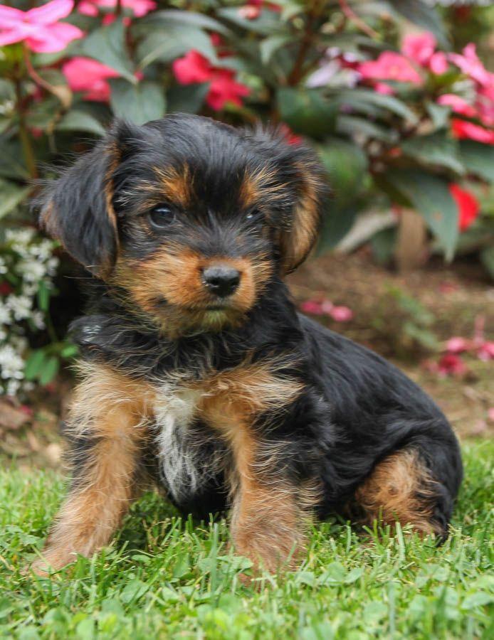 Relaxed Yorkshireterrier Yorkshire Terrier Puppies Puppies For Sale Yorkshire Terrier