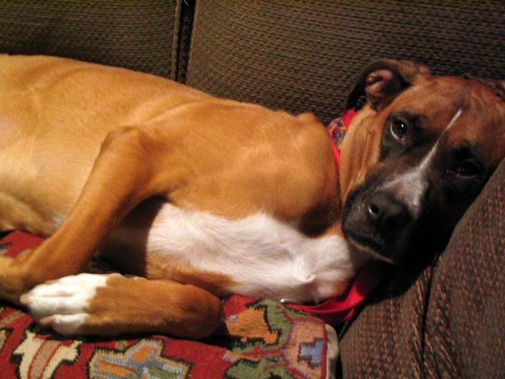 pitbull boxer mix - Google Search | BullBoxer | Pinterest ...