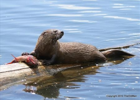 Otter with fish.