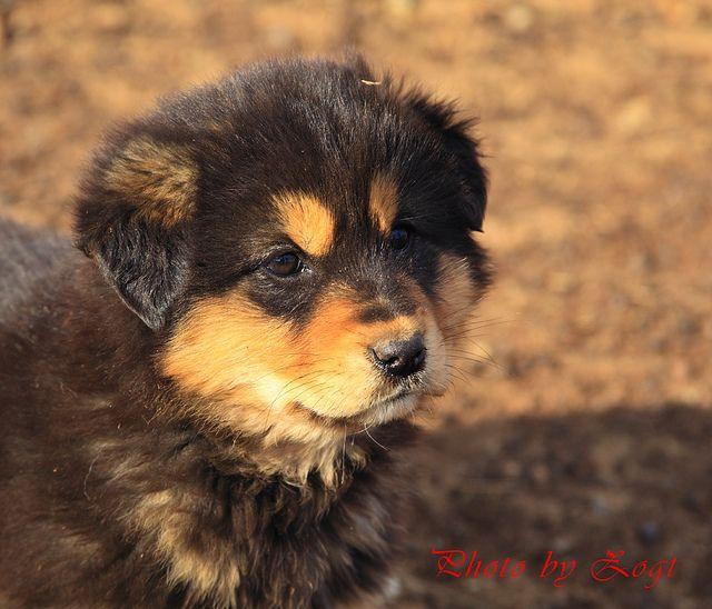 mongolian mastiffs | Mongolian Mastiff | Flickr - Photo Sharing!