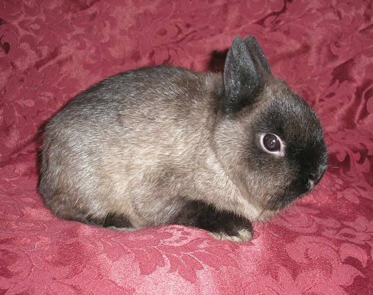picture of a siamese  sable netherland dwarf  bunny | AVAILABLE - Siamese Sable Netherland Dwarf Buck - (approx. 5mths old ...