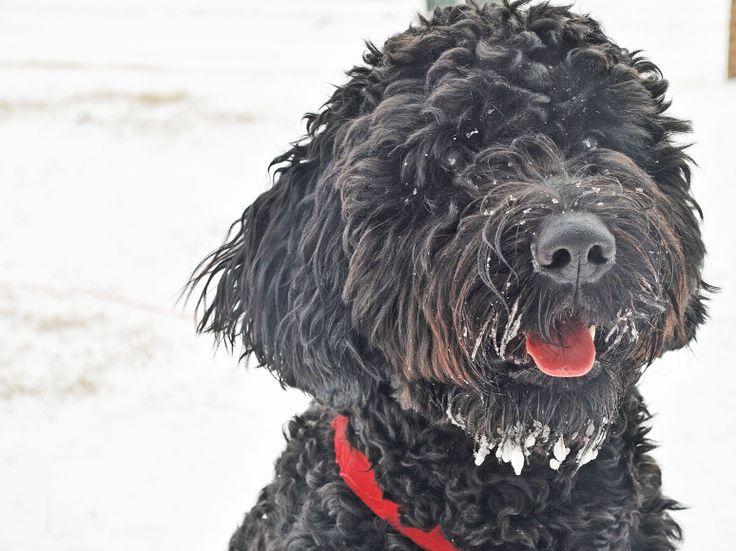 Sweet Winston! Black Goldendoodle goldendoodles