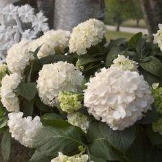 Hortensie-Bauernhortensie-Endless-Summer-The-Bride-wei