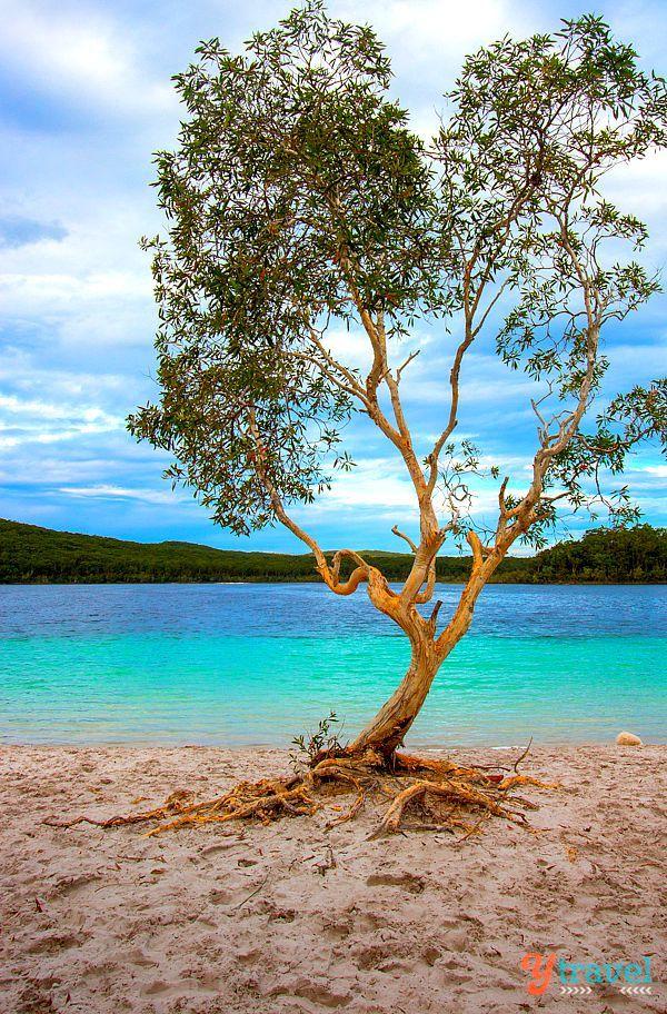 It's a HEART shaped tree - Fraser Island, Queensland, Australia