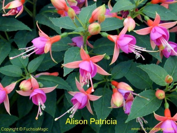 Passiflora.ru - Энциклопедия - Re: Фуксии: пиар, выбор, обсуждение.