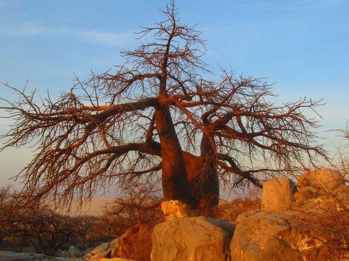 "Photo ""Baobabtree-KubuIsland,Botswana."" by maryannwest"