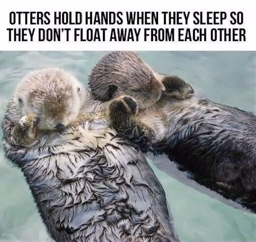 Otters Hold Hands When They Sleep So They Don't Float Away From Eachother love cute animals holding hands adorable animal wild life wild animals otter heart warming otters
