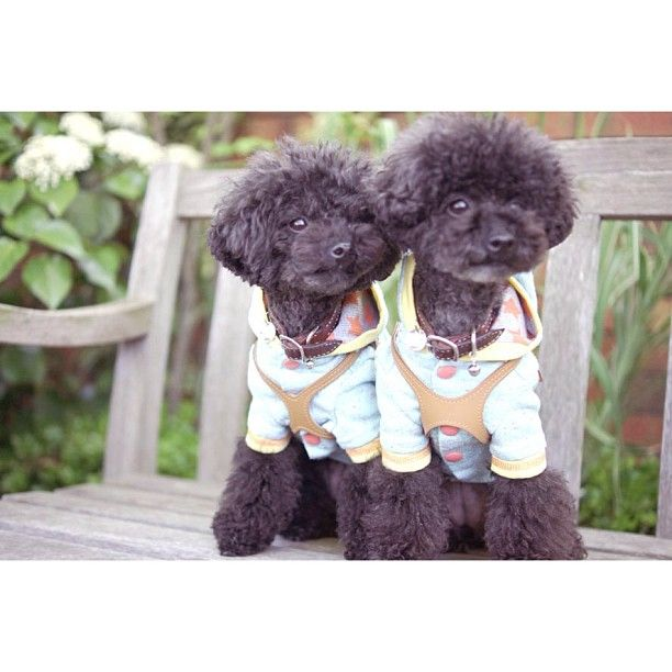 Poodles ...from @ancoron on instagram