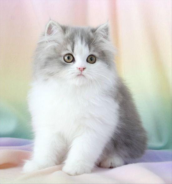 (via Blue Chinchilla Golden & White Bi-Color Persian … | Cute as a Kitte…)