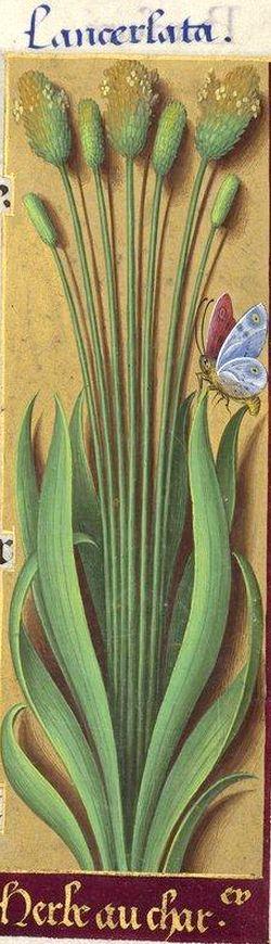 Herbe au char[penti]er - Lancerlata (l. lanceolata) (Plantago lanceolata L. = plantain, oreille-de-lièvre) -- Grandes Heures d'Anne de Bretagne, BNF, Ms Latin 9474, 1503-1508, f°225r