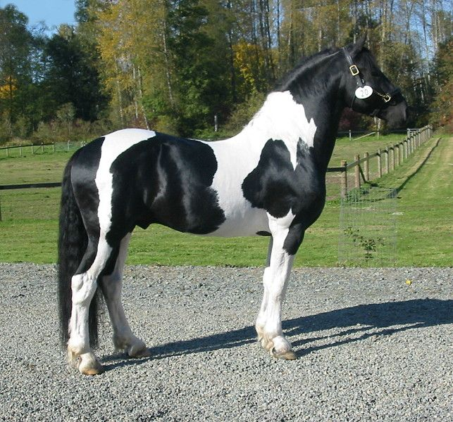 Beautiful cross!  1/2 Friesian, 1/4 Paint, 1/4 Belgian #equine #horse #horselover http://globalhorsecents.com