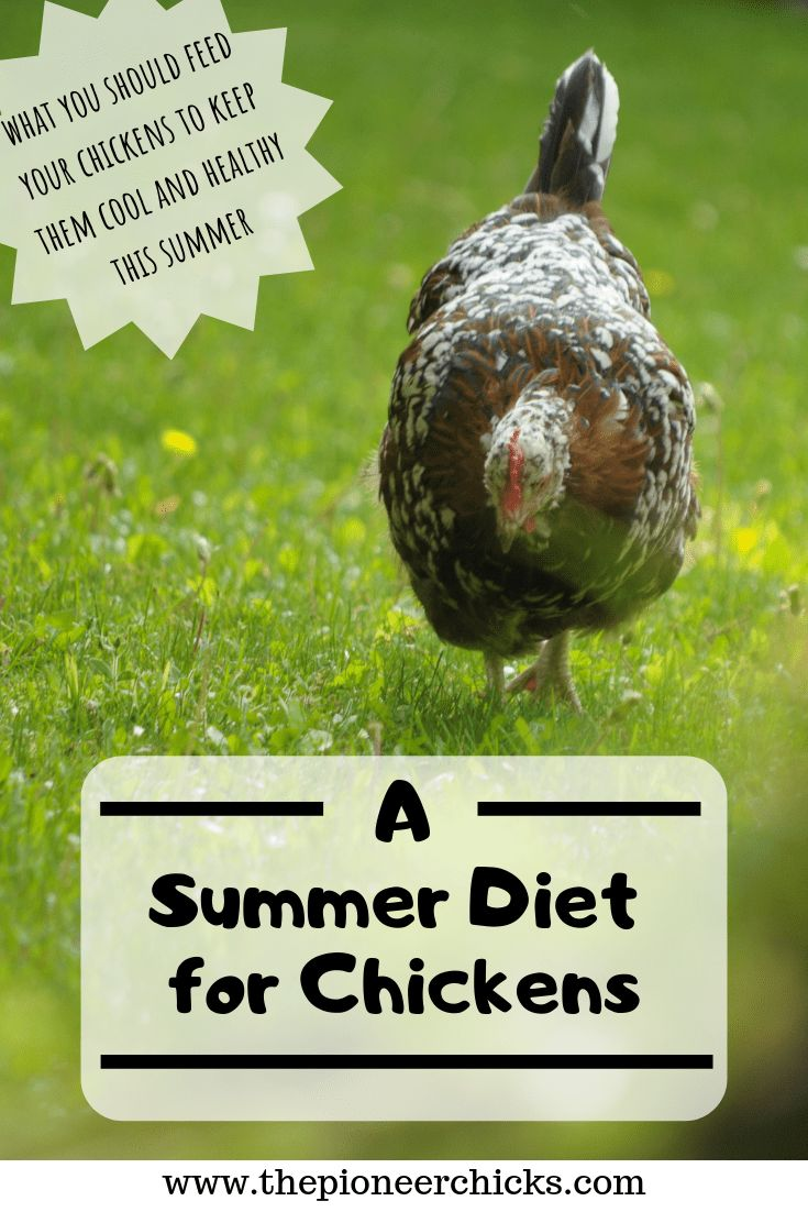 A Summer Diet for Chickens