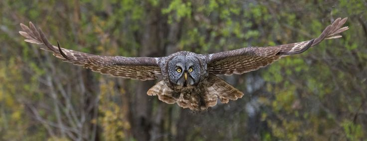 https://flic.kr/p/VUDHXR | Great Gray Owl (Strix nebulosa) | Since I had already posted a Great Gray Owl for my Canada 150 project, I didn't post this one taken on May 17.  This Owl was captured and banded. I positioned myself for the release. Its first wing flaps pushed it toward me. but it veered away almost instantly. I was lucky to get this shot at the moment of release. I started shooting at 9 fps while it was still in the hand of the bander. (Spray and Pray)  Parkland County, Alberta.