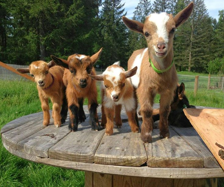 """""""Just some cute little goats standing on a table..."""""""