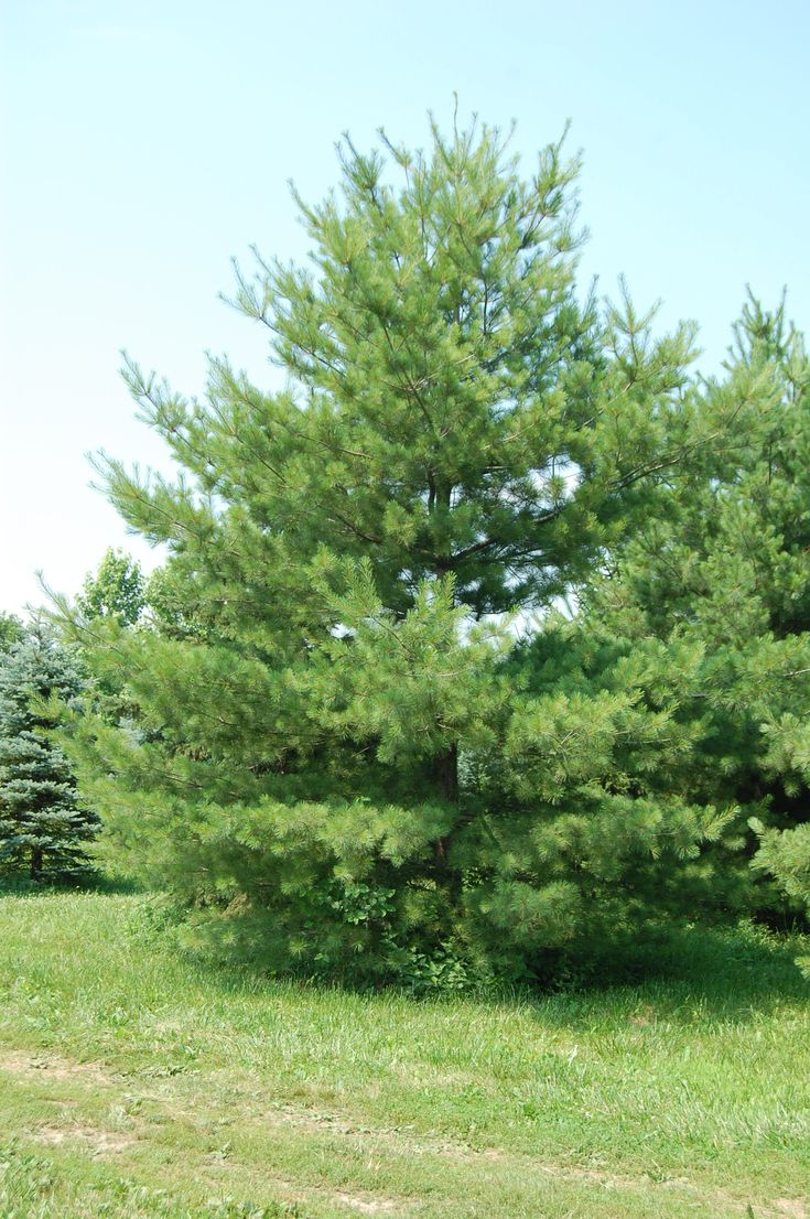 pine tree landscaping peculiarities