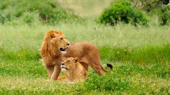 Aslan Çifti  #wallpaper #aslan #leon #aile #family #doğa #nature