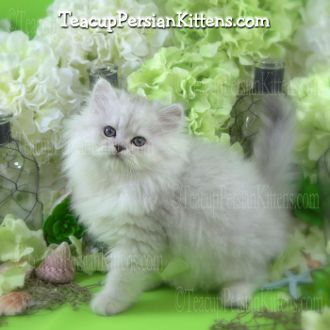 Male persian cat for sale