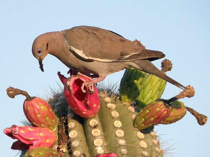 """31 cm (12"""") Common. Southern United States. Desert towns. citrus groves, mesquite, open woods. The only dove with large white wing patch. Resembles Mourning Dove with a shorter, white-edged, rounded tail. Song: long drawn out cooing including a..."""